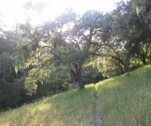 One of the great oak trees at Moore Creek Preserve, a little-known gem on the Santa Cruz Westside. Hilltromper photo.