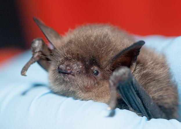This Yuma myotis is nearly indistinguishable from a California myotis. Only the lack of a keeled calcar can tell otherwise. Photo credit: Daniel Neal