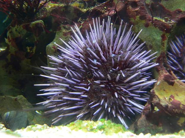 Purple sea urchins are found in the tidepools and kelp forests of the Pacific Coast. Photo by David Monniaux on Wikimedia Commons.