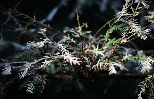 The white needles of an albino redwood. Needles are often more yellowed than this. Photo by Richard Masoner / Creative Commons.