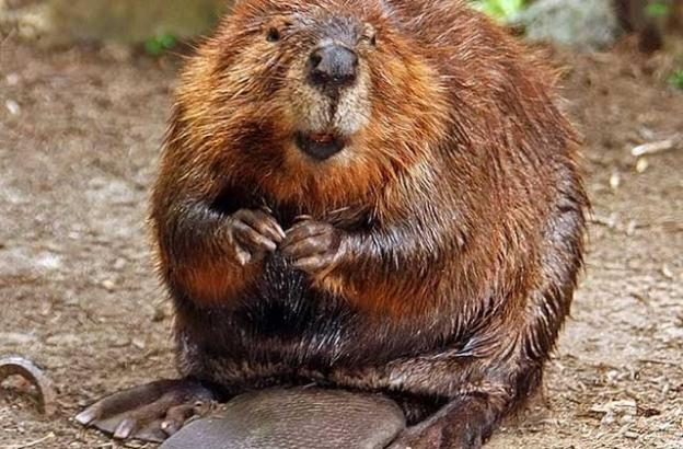 Our hero: The beaver is a 'keystone species'—remaking its territory and creating habitat for countless other critters. Photo by stevehdc.
