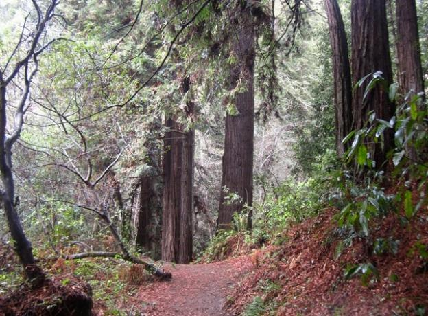 A rainy day calls for a walk under the redwoods, where the canopy shelters the trail. Nisene Marks State Park delivers. Hilltromper photo.