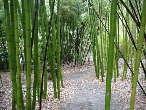Bamboo Giant has the largest stand of timber bamboo anywhere. Bamboo Giant photo.