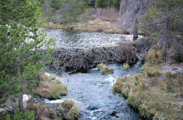 Beaver dams were the primary source of wetlands throughout the continent until the species was decimated.