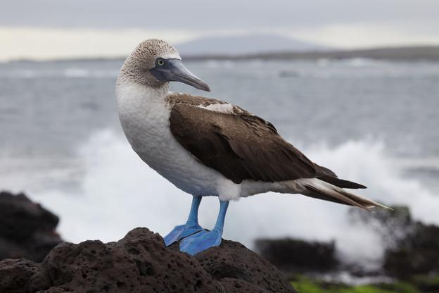 A blue-footed booby photographed in the Galapagos Islands by Nicolas de Camaret (Creative Commons license).