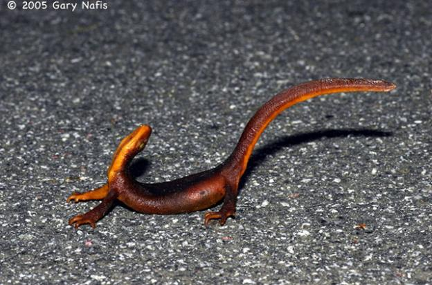 Easy, tiger! A California newt in a defensive posture. Photo by Gary Nafis.