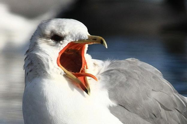 California gull with mouth open