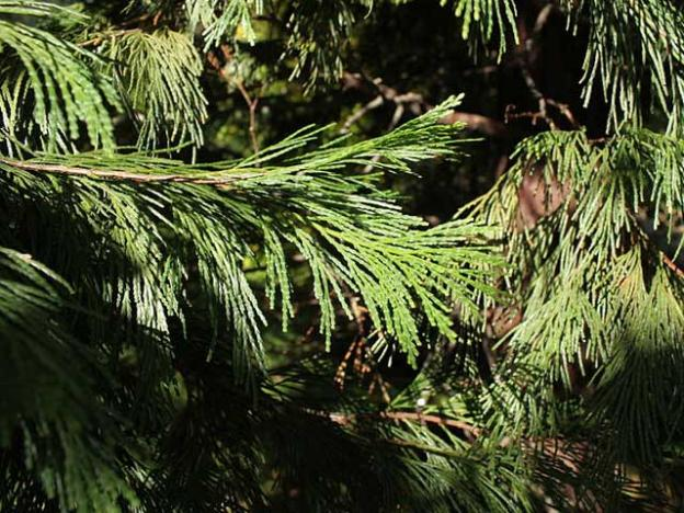Calocedrus decurrens (California Incense-cedar) foliage stays fresh-looking even during drought years. Photo by Cruiser, CC 2.0