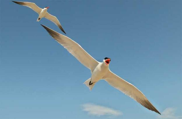 Caspian terns, as large as a large gull, squawk loudly while in flight. Photo by Dmitry Mikhirev.