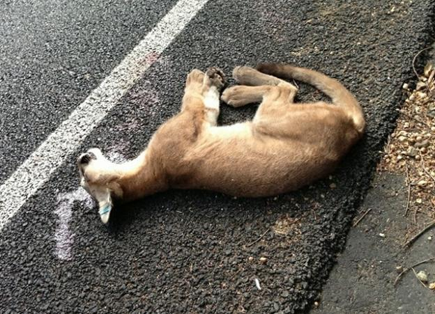 A young mountain lion killed on Hwy 17 near Redwood Estates on Aug. 28. Puma Project photo.