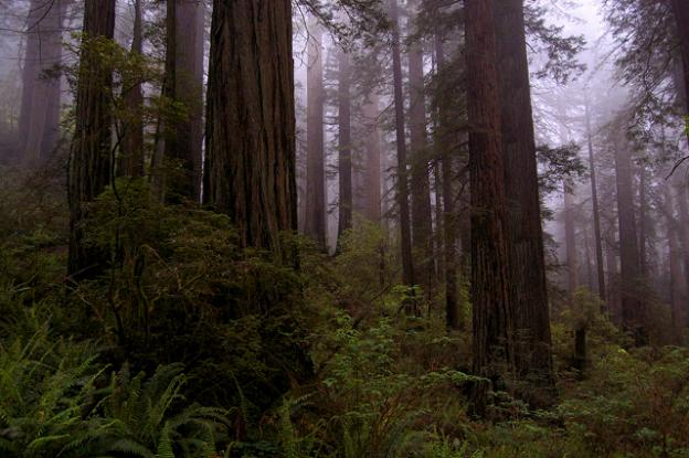 Old growth redwoods in Del Norte Redwoods State Park. Photo courtesy Greg King.