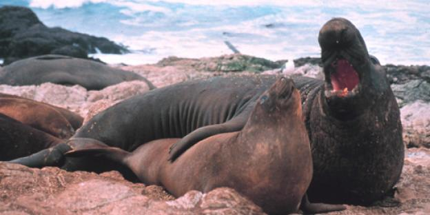 An elephant seal and her pup bask on the beach. Photo credit: NOAA.