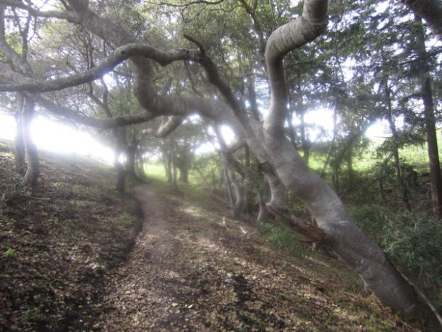 Feats of strength by the oaks on Vernal Ridge Trail, where sunlight is hard to come by. Hilltromper photo.