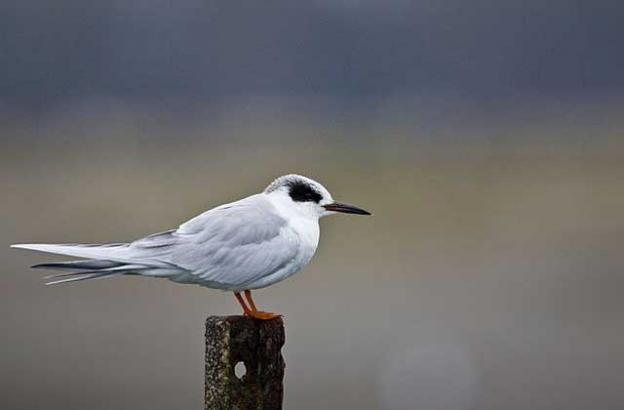 Note the sharp black bill on this Forster's tern, the smallest of the local terns. Photo by USFWS.