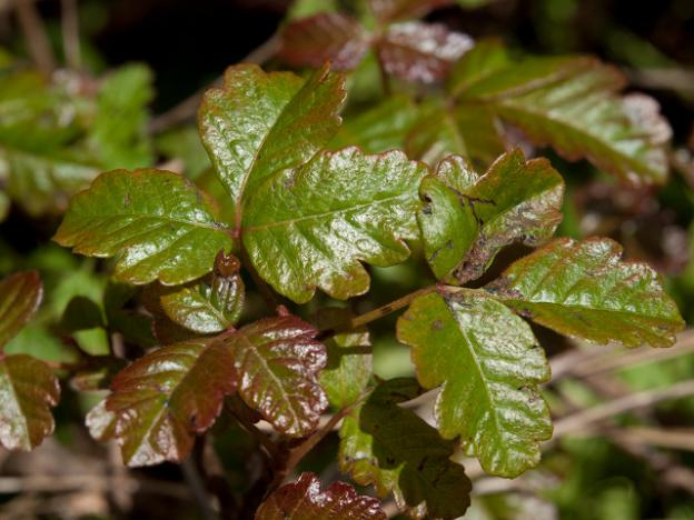 A classic specimen showing the three soft-lobed leaves and characteristic gleam of poison oak. Photo by Franco Folini/Creative Commons.