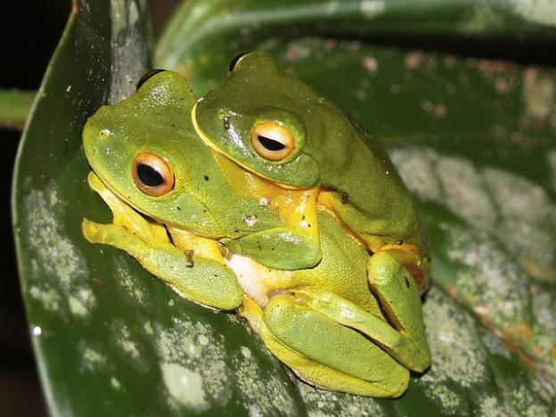 Orange-thighed frogs in the grip of passion. We don't have them here. We really just liked the picture. Photo by Rainforest_harley on Wikimedia Commons.