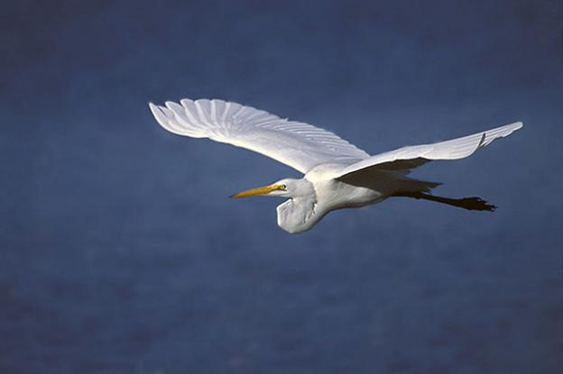 Great white egrets are just one treat in store at the Monterey Bay Birding Festival. Peter Wallack/Creative Commons