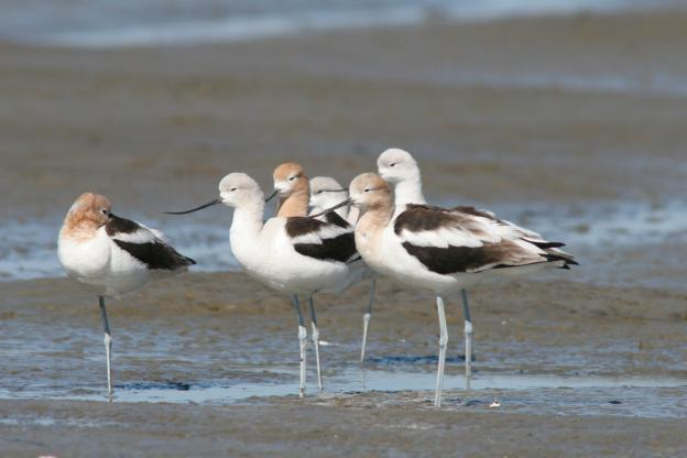Naturalist Danny Johnson's favorite bird, the American avocet.  Photo provided by Yohn Gideon.