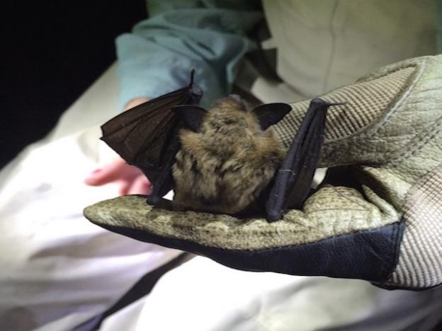 Without checking for a keeled calcar, this California myotis is indiscernible from a Yuma myotis. Photo credit: Samantha Chavez