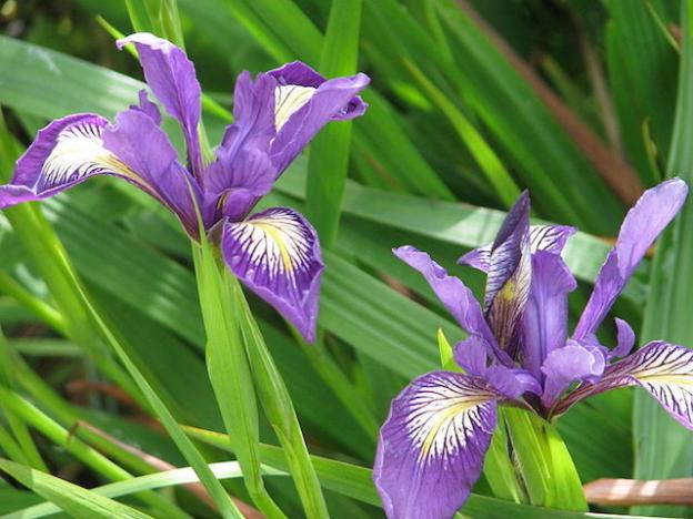 A pair of Douglas Iris with purple, white, and yellow coloration. Photo by Peganum from Wilikmedia Commons; CC by SA 2.0.