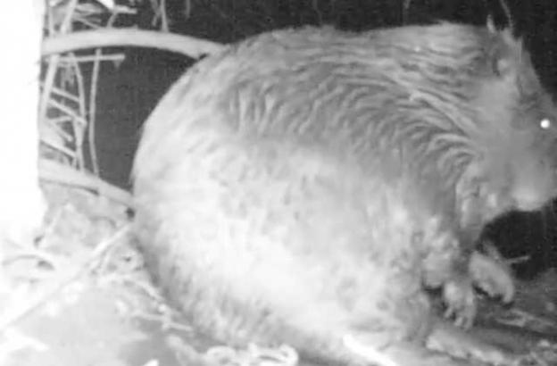 A video released last week shows what may be the first beaver to set up shop on Los Gatos Creek in 150 years.