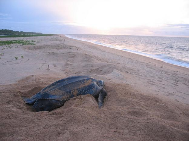 A nesting leatherback on a beach in Suriname. The Atlantic population of these reptiles is much healthier, and therefore more photographed, than the Pacific. Julias Travels photo.