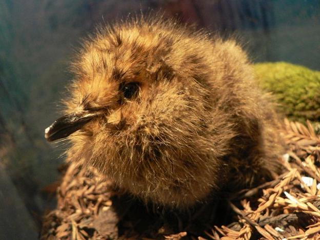 A marbled murrelet chick in a nest. Photo by Peter Halasz/Creative Commons.