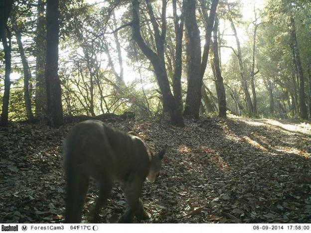 A male puma pictured near Highway 17 in August 2014. Pathways for Wildlife photo.