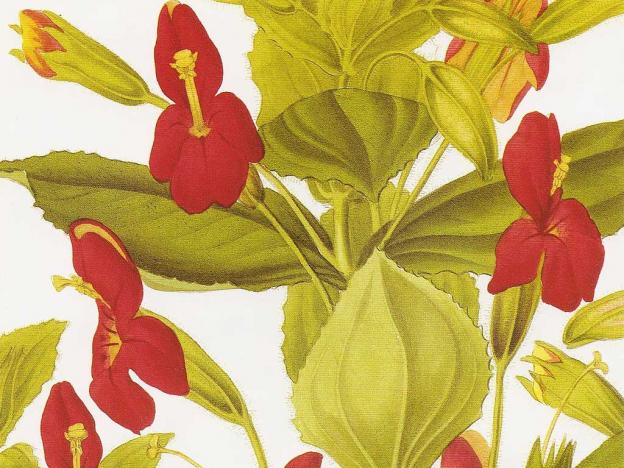 Mimulus cardinalis (scarlet monkey flower), from a hand-colored engraving after a drawing by S. A. Drake, from 'Transactions of the Horticultural Society' (1835). (Public domain.)