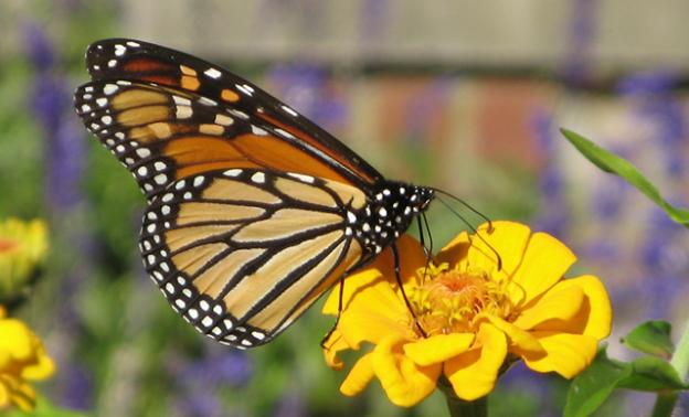 Adult monarch butterflies live on nectar from a number of different kinds of flowers, but larvae need milkweed. Creative Commons photo.