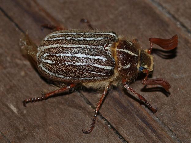 The Mount Hermon june beetle makes its home only in Sandhills Chaparral and Sandhills Parkland. Peigi McCann photo.