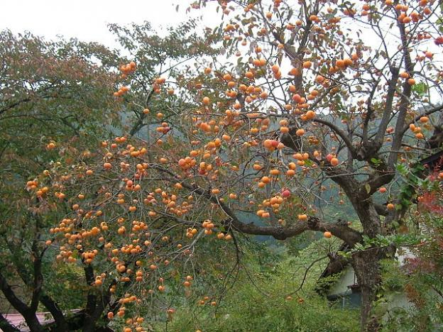 Persimmon trees: a good source of food for local wildlife.  Photo by Geomr on Wikimedia Commons.