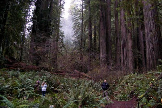 Old growth redwoods in Prairie Creek State Park. Photo courtesy Greg King.