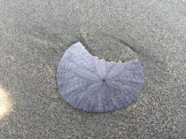 Living sand dollars are purple and bristly. This one is recently dead.