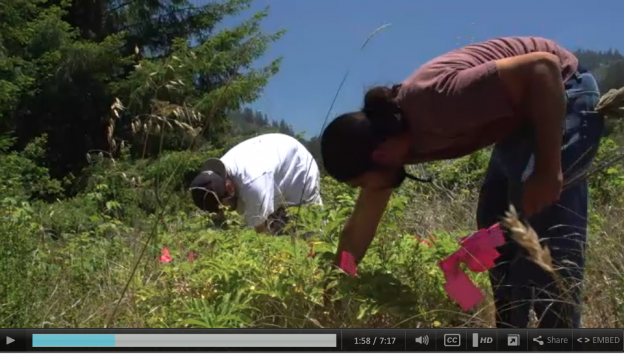 Amah Mutsun youths tend patches of angelica, a medicinal plant. Courtesy 'Open Road.'