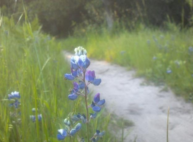 Sky lupine on Twin Oaks Trail, a welcome sign of spring.