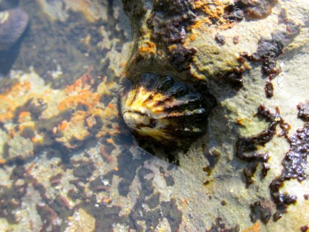 Limpets, a type of sea snail, are often mistaken for empty sea shells in the pools.