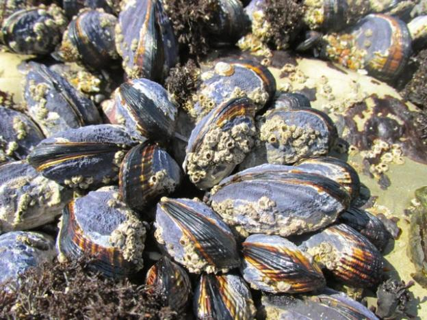 Mussels litter the rocks of the ocean's edge; careful not to step on them!