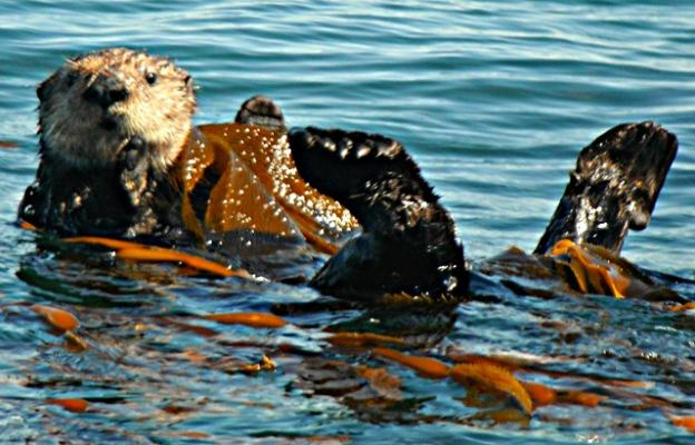 Curious sea otter wrapped in kelp. Photo by Hanae Armitage.