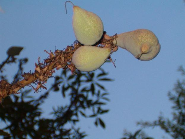 Buckeye fruit: not for the weak of stomach. Or fish, which buckeye was used to paralyze for easy gathering. Daniel Williford photo.