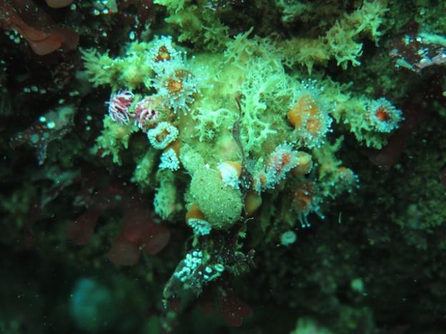 The decorator crabs' attire isn't restricted to alage. They often choose to wear sponges and anemones as well. Photo by Catherine Drake.