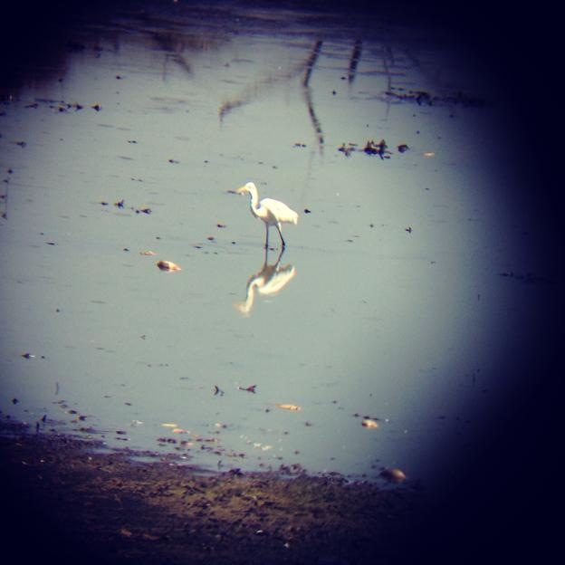 A great egret plucks a treasure from the slough. Photo by Maria Grusauskas.