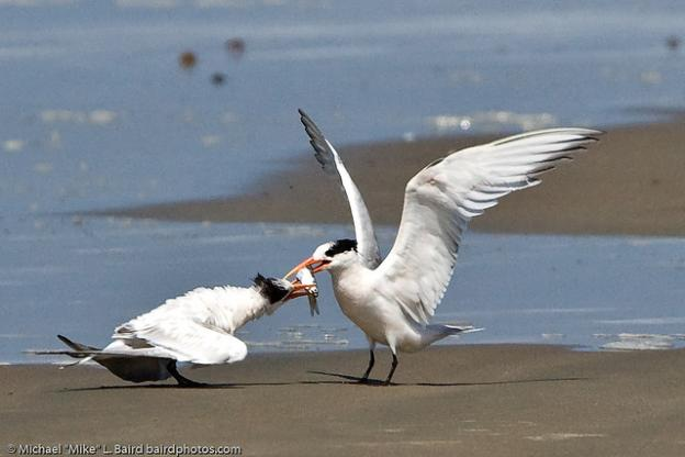 """An elegant tern feeds a nearly-fledged youngster. Photo by Michael """"Mike"""" L. Baird."""