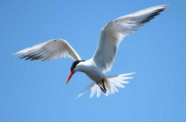 An elegant tern at the top of its dive-bomb fishing maneuver—showing how it got its name. Photo by Regular Daddy.