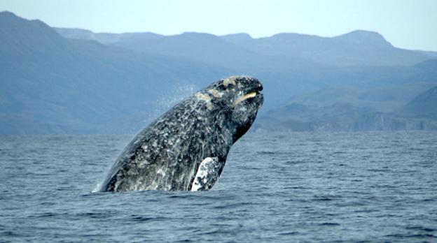A gray whale breaching. Photo credit: Merrill Gosho/NOAA