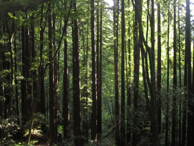 A thick stand of young redwoods against sunlit leaves. Photo by Hilltromper.