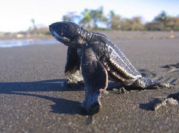 A leatherback hatchling stretches its flippers on the coast of Costa Rica. Photo by frontierofficial on Flickr (cropped).