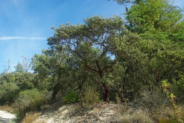 The red-barked silverleaf manzanita trees of the sandhills thrive in the sandy, nutrient-poor soil. Photo by Emma Hiolski.