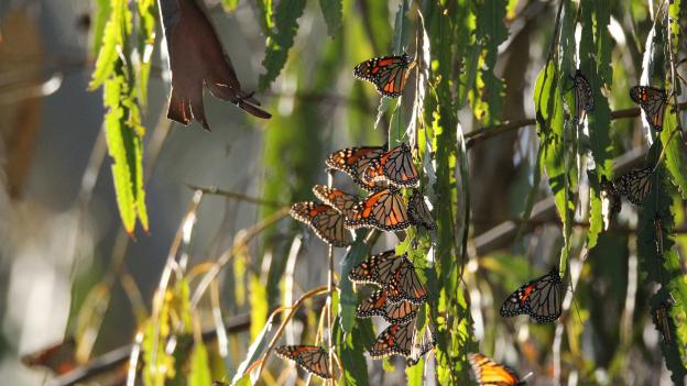 Santa Cruz is one of four sites in California that host monarchs during the winter.