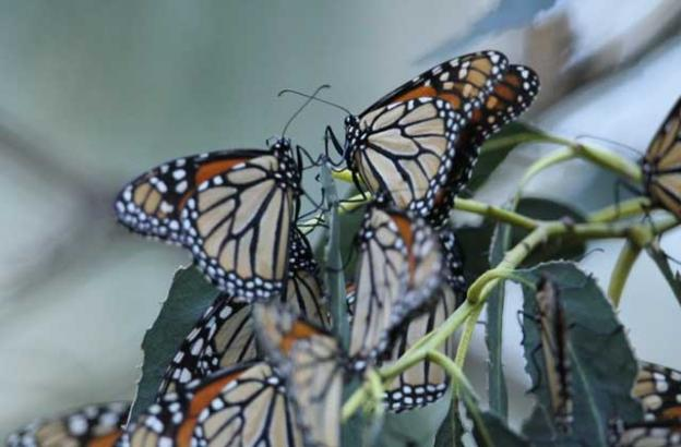 Monarch butterflies began returning to Natural Bridges in September.